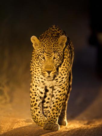 Leopard at Night, Sabi Sabi Reserve, South Africa Fotografisk tryk