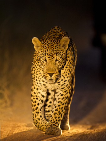 Leopard at Night, Sabi Sabi Reserve, South Africa Fotografie-Druck