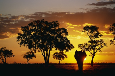 African Elephant Walking at Sunset Photographic Print