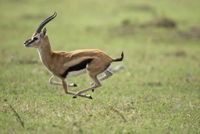 Running Thomson's Gazelle Photographic Print
