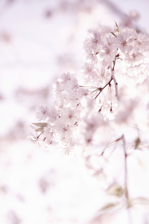 Soft Blooms II Photographic Print by Karyn Millet