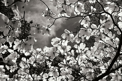Spring Dogwood I Photographic Print by Alan Hausenflock
