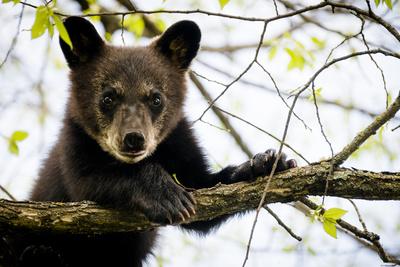 Black Bear Cub II Photographic Print by Beth Wold