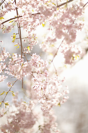 Soft Blooms V Photographic Print by Karyn Millet