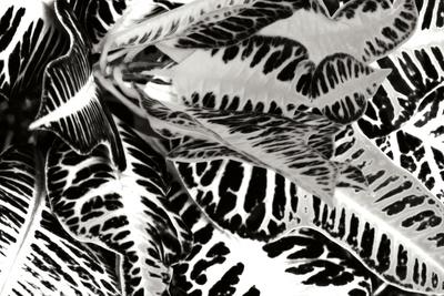 Croton II Photographic Print by Alan Hausenflock