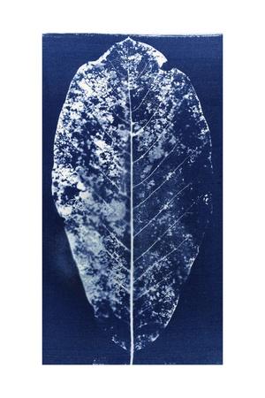 Magnolia Leaf Skeleton, 2013 Giclee Print by Elspeth Ross