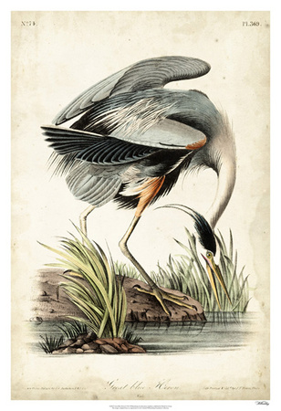 Great Blue Heron Giclee Print by John James Audubon
