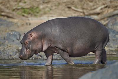 Hippopotamus (Hippopotamus Amphibius) in Shallow Water Photographic Print by James Hager