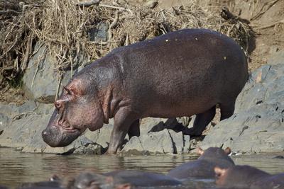 Hippopotamus (Hippopotamus Amphibius) Returning to the Water Photographic Print by James Hager