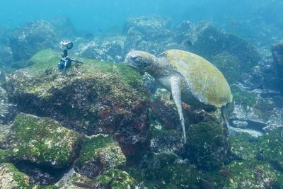 Adult Green Sea Turtle (Chelonia Mydas) Underwater Near Camera Fotografie-Druck von Michael Nolan