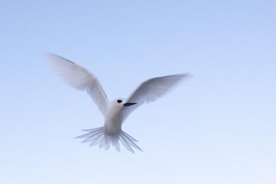 Common White-Tern (Gygis Alba), Denis Island, Seychelles, Indian Ocean, Africa Photographic Print by Sergio Pitamitz