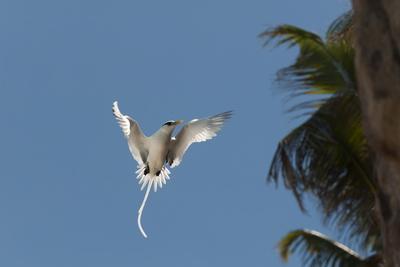 White-Tailed Tropicbird (Phaethon Lepturus), Fregate Island, Seychelles, Indian Ocean, Africa Photographic Print by Sergio Pitamitz
