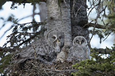 Great Grey Owl (Great Grey Owl) (Strix Nebulosa) Female Photographic Print by James Hager