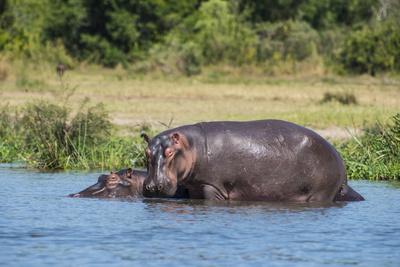 Hippopotamus (Hippopotamus Amphibius), Murchison Falls National Park, Uganda, East Africa, Africa Photographic Print by Michael Runkel