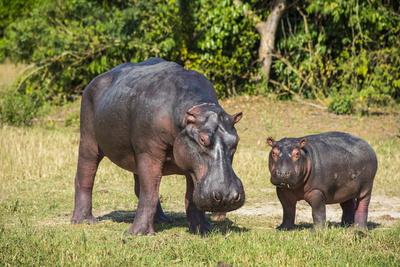 Hippopotamus (Hippopotamus Amphibius) Mother Photographic Print by Michael Runkel