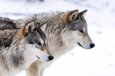 Two Sub Adult North American Timber Wolves (Canis Lupus) in Snow, Austria, Europe Photographic Print by Louise Murray