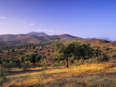 Olive Trees at Sunset, Ardales, Province Malaga, Andalusia, Spain, Europe Photographic Print by Markus Lange