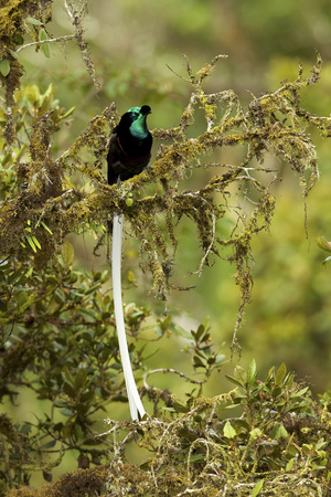 An Adult Male Ribbon Tailed Bird of Paradise Perches on a Tree Branch Photographic Print by Tim Laman