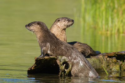 Two Northern River Otters Enjoying a Warm Summer Day Photographic Print by Tom Murphy