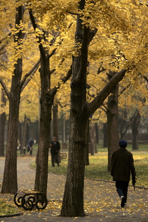 Bright Yellow Leaves of Deciduous Trees Adorn a Park on a Cool Autumn Day in Beijing Photographic Print by Michael Reynolds