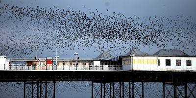 Starlins Perform their Aerial Ballet over the Palace Pier in Brighton Photographic Print by Andy Rain
