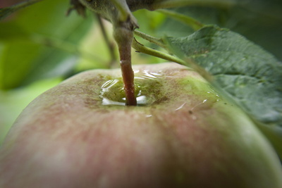A Small Water Puddle Emerges around a Peduncle of an Apple Photographic Print by Frank Rumpenhorst