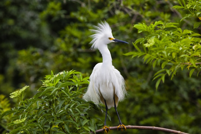 USA, Florida, St. Augustine, Snowy egret at the Alligator Farm. Photographic Print by Joanne Wells