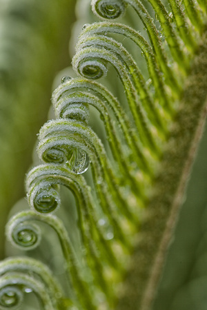 USA, Georgia, Savannah, Close-up of new fronds on a sago palm. Photographic Print by Joanne Wells