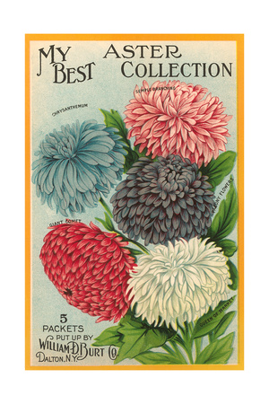Packet of Aster Seeds Prints