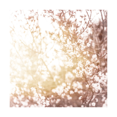 Photo of Beautiful Cherry Blossom Poster von Anna Omelchenko