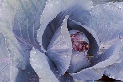 Budding Kale Photographic Print by  jrferrermn