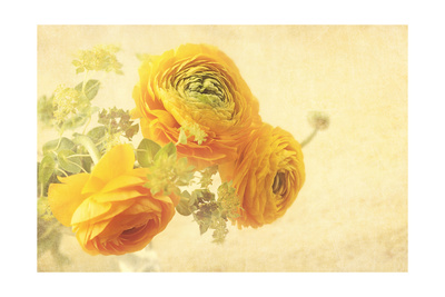 Ranunculus Flowers on Yellow Background Prints by  egal