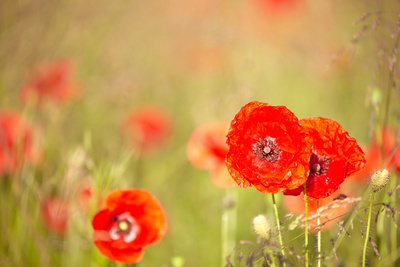 Red Poppies with Out of Focus Poppy Field Photographic Print by  ZoomTeam