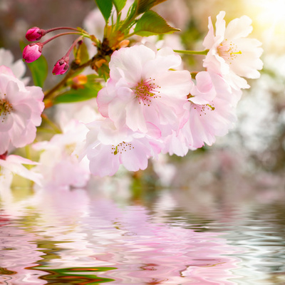 Cherry Blossoms with Reflection on Water Fotografisk tryk af  Smileus