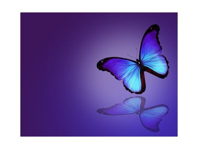 Morpho Blue Butterfly on Dark Blue Background Prints by  suns_luck