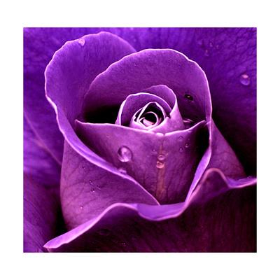 Purple Rose Prints by  Imagevixen