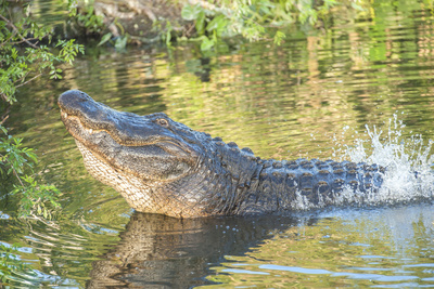 USA, Florida, Orlando. alligator doing water dance at Gatorland. Photographic Print by Lisa S. Engelbrecht