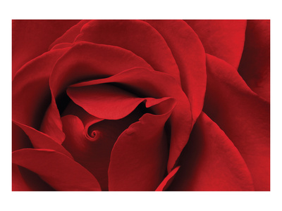 Rose Red Prints by Danny Burk