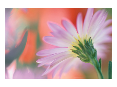 Silvery Aster Art by Karin Connolly