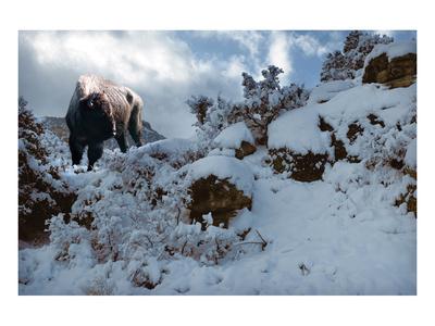 Snowy Buffalo Posters by Steve Hunziker