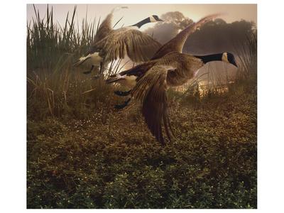 Morning Geese Poster by Steve Hunziker
