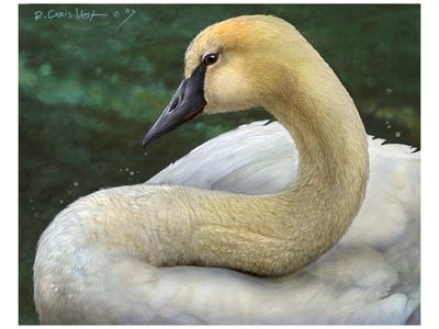 Swan Prints by Chris Vest