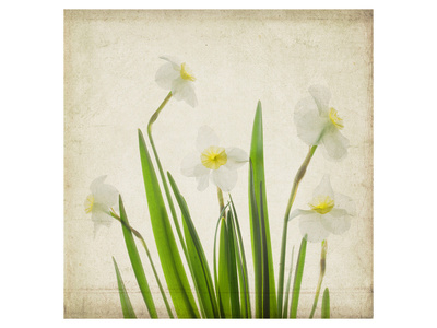 White Daffodil Garden Posters by Judy Stalus