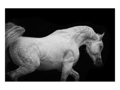 Arabian Stallion Prints by Melanie Snowhite