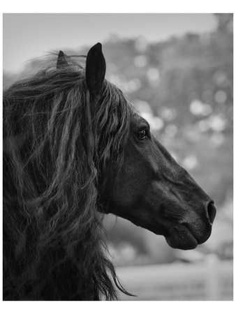 Black Stallion Print by Melanie Snowhite