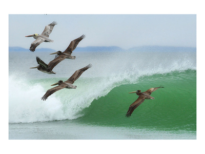 Pelicans Follow Leader Posters by Steve Munch