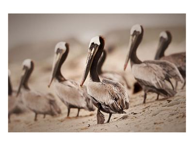 Pelican Point Prints by Steve Munch