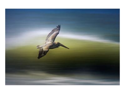 Pelican in Flight Print by Steve Munch