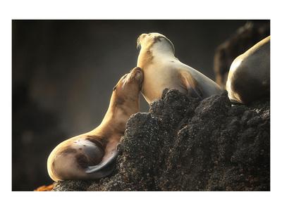 Snuggling Sea Lions Prints by Steve Munch