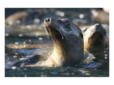 Sea Lion Swim Print by Steve Munch